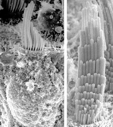 plant cilia